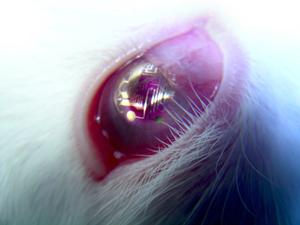 لنز تماسی با یک مدار الکترونیکی روی چشم خرگوش