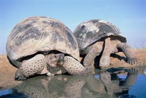 لاک پشت گالاپاگوس Galapagos tortoise