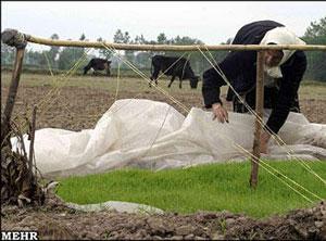 شالیزاری خشک شده در شمال ایران