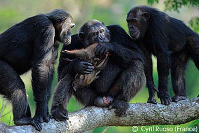 جفت گیری شامپانزه برترین عکسهای حیات وحش 2008 انتخاب شد