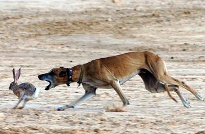 سلوقی، سگ تازی صحرایی در حال شکار خرگوش