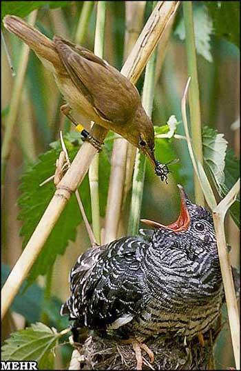 کوکو هیچ وقت لانه نمی سازد و لانه میزبان را برای تخم گذازی اشغال میکند