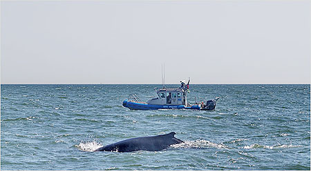 The whale, which was first reported to the authorities by a resident's phone call around 8 a.m., did not appear to be injured or entangled.