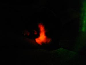 سگ همانندسازیشده که زیر نور ماورای بنفش با رنگ قرمز میدرخشد