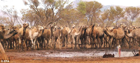 An invasion of 6,000 thirsty wild camels has caused chaos in a small Australian town, with the animals smashing roads to get at water