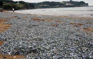 میلیونها ماهی کولی مرده د رساحلی در شمال اسپانیا